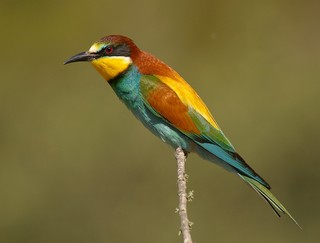 European Bee-eater Merops apiaster is a common bir...
